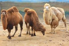 Drei Kamele Stockbild