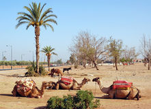 Drei Kamele gegen Palmen Lizenzfreie Stockfotografie