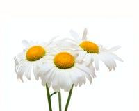 Drei Kamillenblumen Stockfoto