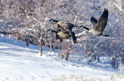 Drei Kanada-Gänse, die über einen Winter See fliegen Lizenzfreies Stockbild