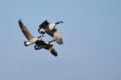 Drei Kanada-Gänse, die in blauen Himmel fliegen Stockbild