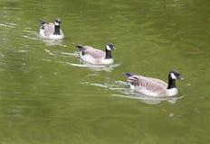 Drei Kanada-Gänse, die in der Bildung schwimmen Lizenzfreie Stockbilder