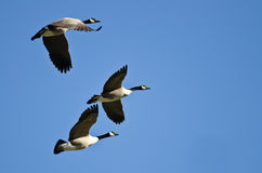 Drei Kanada-Gänse, die in einen blauen Himmel fliegen Lizenzfreie Stockfotos