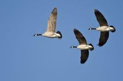 Drei Kanada-Gänse, die in einen blauen Himmel fliegen Lizenzfreies Stockbild