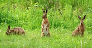 Drei Kaninchen Stockbild