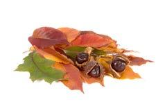 Drei Kastanien und Blätter. Lizenzfreies Stockbild