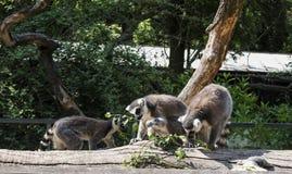 Drei Katta, Maki catta, grüne Blätter essend Stockbild