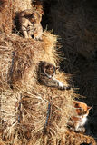 Drei Katzen auf Stroh Stockfotos