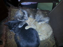 Drei Katzen, die auf Stuhl sich anschmiegen Stockfotos