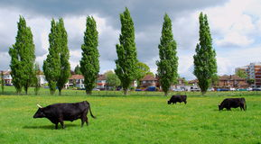 Drei Kühe Lizenzfreie Stockfotografie