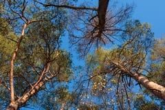 Drei Kiefer gegen blauen Himmel Stockbild
