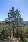 Drei Kiefern über Wald Stockfoto