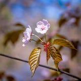 Drei Kirschblüte-Blumen Stockbilder