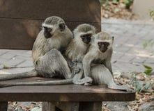 Drei kleine Affen, die in Folge sitzen Stockfotos