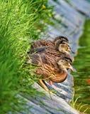 Drei kleine Enten Stockfoto