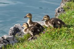 Drei kleine Enten vorbereitet, in das Wasser zu springen stockbild