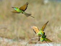 Drei kleine grüne Bienenfresser (Merops orientalis) während des Anschlusses Lizenzfreie Stockfotografie