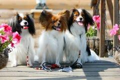 Drei kleine Hunde sitzen auf einem hölzernen Hintergrund Das Papillon und, die gefallen werden, werfen nahe bei den rosa Petunien Lizenzfreie Stockfotos