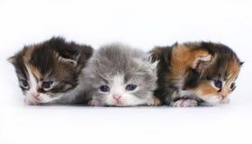 Drei kleine Kätzchen auf einem weißen Hintergrund Stockfotos