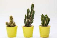 Drei kleine Kakteen in lokalisiertem weißem Hintergrund Stockfoto