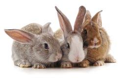 Drei kleine Kaninchen lizenzfreie stockbilder