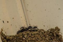 Drei kleine Schwalben in das Nest Stockfoto