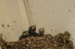 Drei kleine Schwalben in das Nest Lizenzfreie Stockfotos