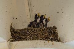 Drei kleine Schwalben in das Nest mit dem offenen Schnabel Stockbilder