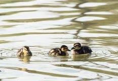 Drei kleine Stockentenentlein im Teich Stockfotos