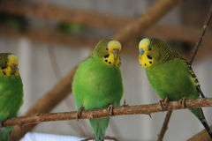 Drei kleine Vögel Lizenzfreie Stockbilder