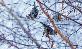 Drei kleine Vögel Lizenzfreie Stockfotos