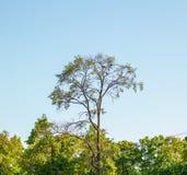 Drei Krähen, die auf einem Baum im Abstand sitzen Lizenzfreie Stockbilder