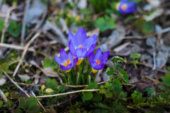 Drei Krokusblumen Stockfoto