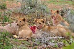 Drei Löwejunge, welche die kudu Antilope essen Stockfotografie