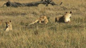 Drei Löwinnen, die aus den Grund auf Masai Mara Game Reserve, Kenia legen stock footage