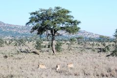 Drei Löwinnen, die in trockenes Gras von einem Baum zurücktreten Lizenzfreie Stockbilder
