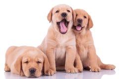Drei labrador retriever-Hündchen lizenzfreies stockbild