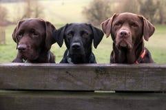 Drei labradors Lizenzfreie Stockfotografie