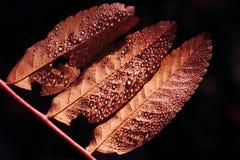 Drei lebende korallenrote Blätter mit kleinen Tropfen lizenzfreie stockfotos