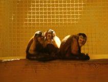 Drei lustige Capuchin monkyes, die im Zoo sitzen Lizenzfreies Stockfoto