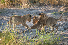 Drei Löwejunge, die auf schlammigem Boden spielen Stockbilder
