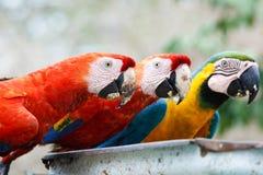 Drei Macaws Lizenzfreies Stockfoto