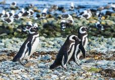 Drei Magellanic-Pinguine auf Magdalena-Insel in Chile lizenzfreies stockfoto