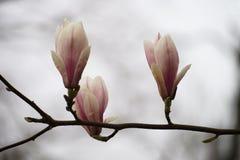Drei Magnolienblüten lizenzfreies stockbild