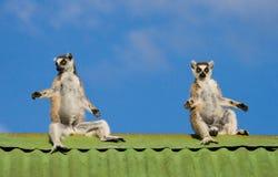Drei Makis, die auf dem Dach des Hauses gegen Hintergrund des blauen Himmels sitzen madagaskar Stockfotos