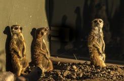Drei Meerkats, das verschiedene Richtungen betrachtet stockfotografie