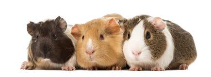 Drei Meerschweinchen nebeneinander, lokalisiert Lizenzfreies Stockfoto