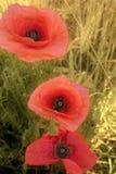 Drei Mohnblumen Stockbilder