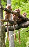 Drei monkies in einer Reihe Stockbild