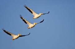 Drei Nashornpelikane, die in einen blauen Himmel fliegen Lizenzfreies Stockbild